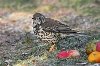 Mistle Thrush by Jill Pakenham