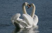 Mute Swan by Jill Pakenham