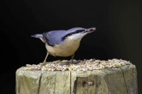 Nuthatch by John Harding/BTO