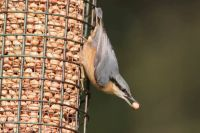 Nuthatch by Mark R Taylor/BTO