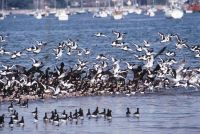 Oystercatcher Flock by John Bowers