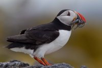 Puffin by Edmund Fellowes/BTO