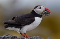 Puffin by Edmund Fellowes