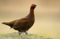 Red Grouse by Edmund Fellowes