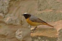 Redstart by John Harding