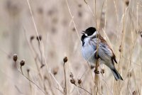Reed Bunting, Amy Lewis/BTO