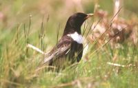 Ring Ouzel by Tommy Holden