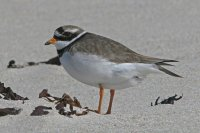 Ringed Plover by Ron Marshall/BTO