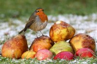 Robin by Jill Pakenham/BTO
