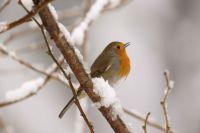 Robin by Mark R Taylor