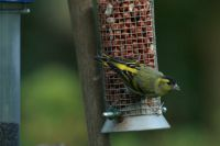 Siskin by John Godfree