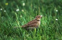 Skylark by Tommy Holden