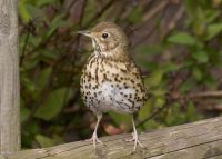 Song Thrush by John Harding