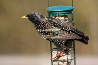 Starling by Jill Pakenham/BTO
