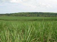 Sugarcane Plantation, Uganda - Mark Hulme/BTO