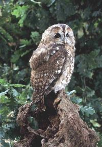 Owls make local garden birdwatching a hoot BTO British