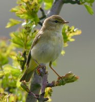 Willow Warbler by www.grayimages.co.uk/BTO