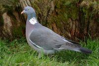 Wood Pigeon by Jill Pakenham