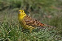 Yellowhammer by Jill Pakenham