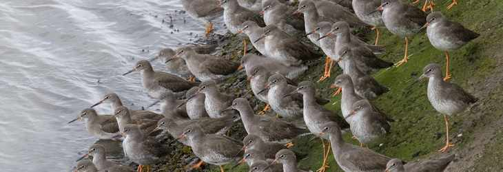 Flock of Redshank by John Harding