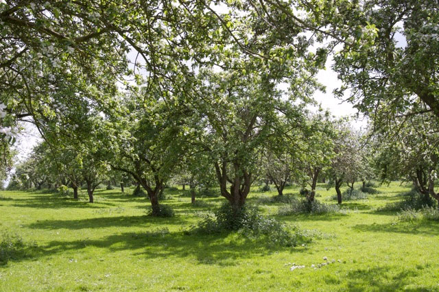 Traditional orchard