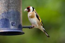 Goldfinch (John Harding)