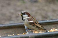 House Sparrow (John Harding)