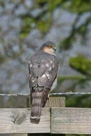 Sparrowhawk by Jill Pakenham