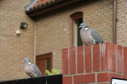 Woodpigeons by Mike Toms