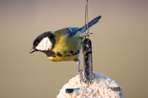 Great Tit by John Harding