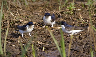 House Martins. Photograph by Liz Cutting