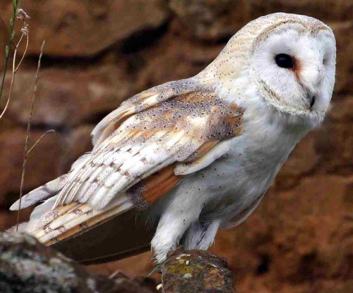 Barn Owl © Jill Pakenham