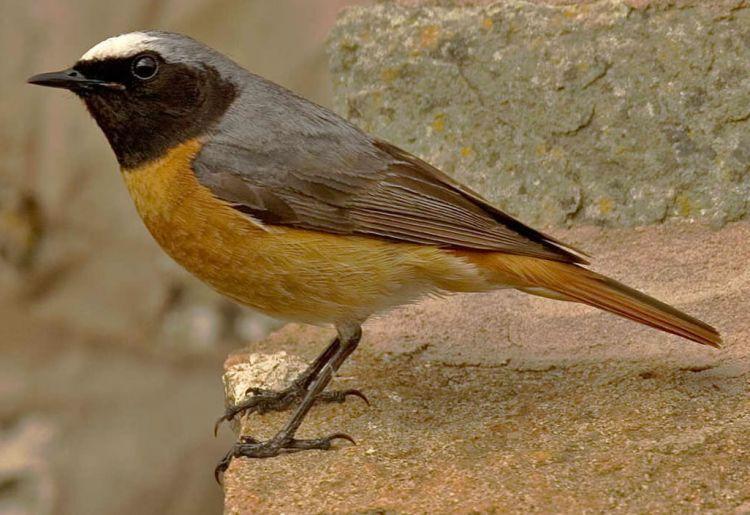Redstart © John Harding
