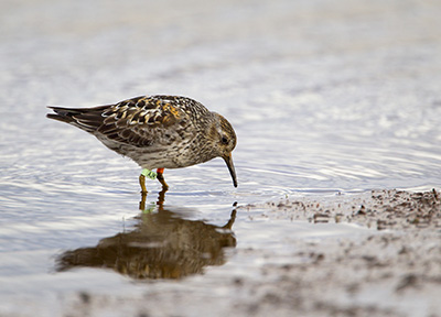 Purple Sandpiper. Photograph by Edmund Fellowes