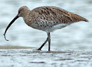Curlew. Photo by northeastwildife.co.uk