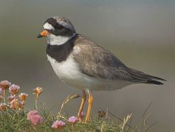 Ringed Plover. Photograph by BTO