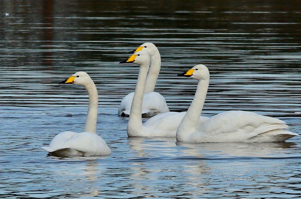 Whooper Swans. Tom Cadwallender