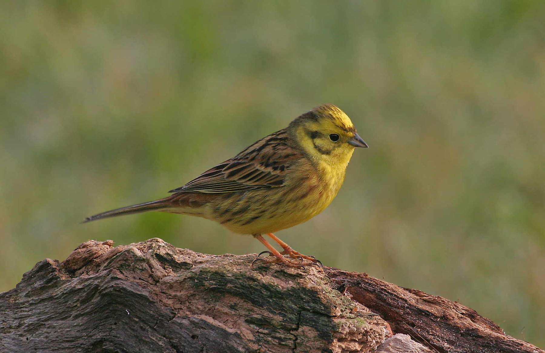 Yellowhammer by Jill Pakenham.